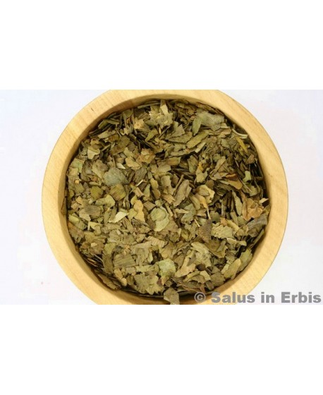 Ginkgo biloba foglie