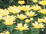 crisantellum